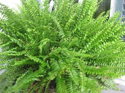 Boston-Fern-houseplant