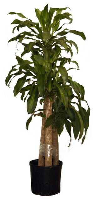 Corn_Plant_houseplant