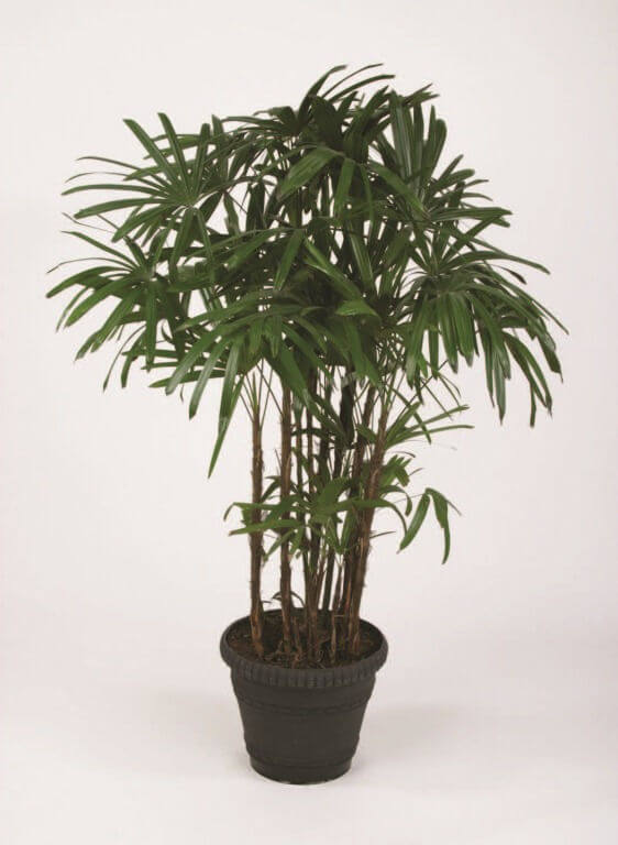 Lady Palm Tree Care Another high ranking plant