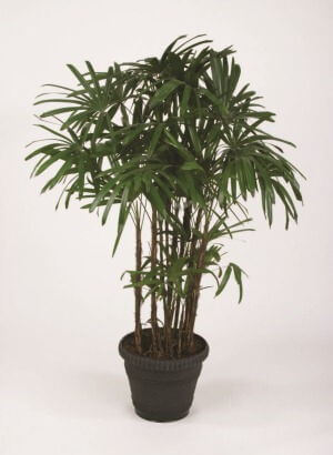 Lady_Palm_houseplant